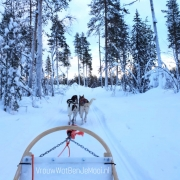 Huskeytocht in Lapland huskeys in bos