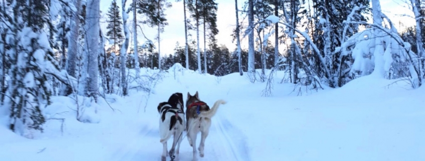 Huskeytocht in Lapland huskeys in bos