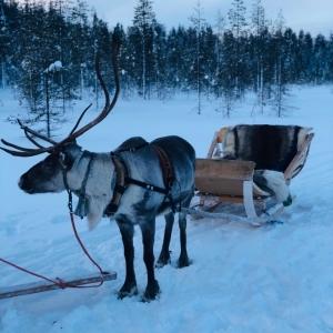 Tocht met rendieren Lapland