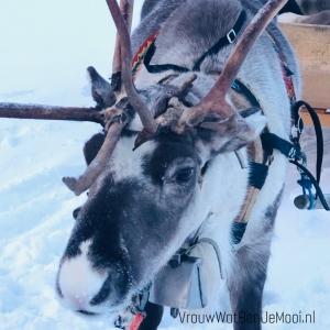 Tocht met rendieren in Lapland rendier