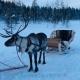 Tocht met rendieren in Lapland slee
